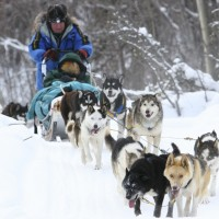 On an adventure with sled dogs in the Yukon