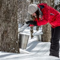 maple tapping video