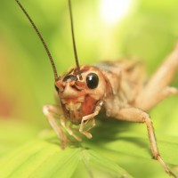 Macro of a cricket