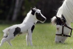 Green living: Einstein the miniature horse