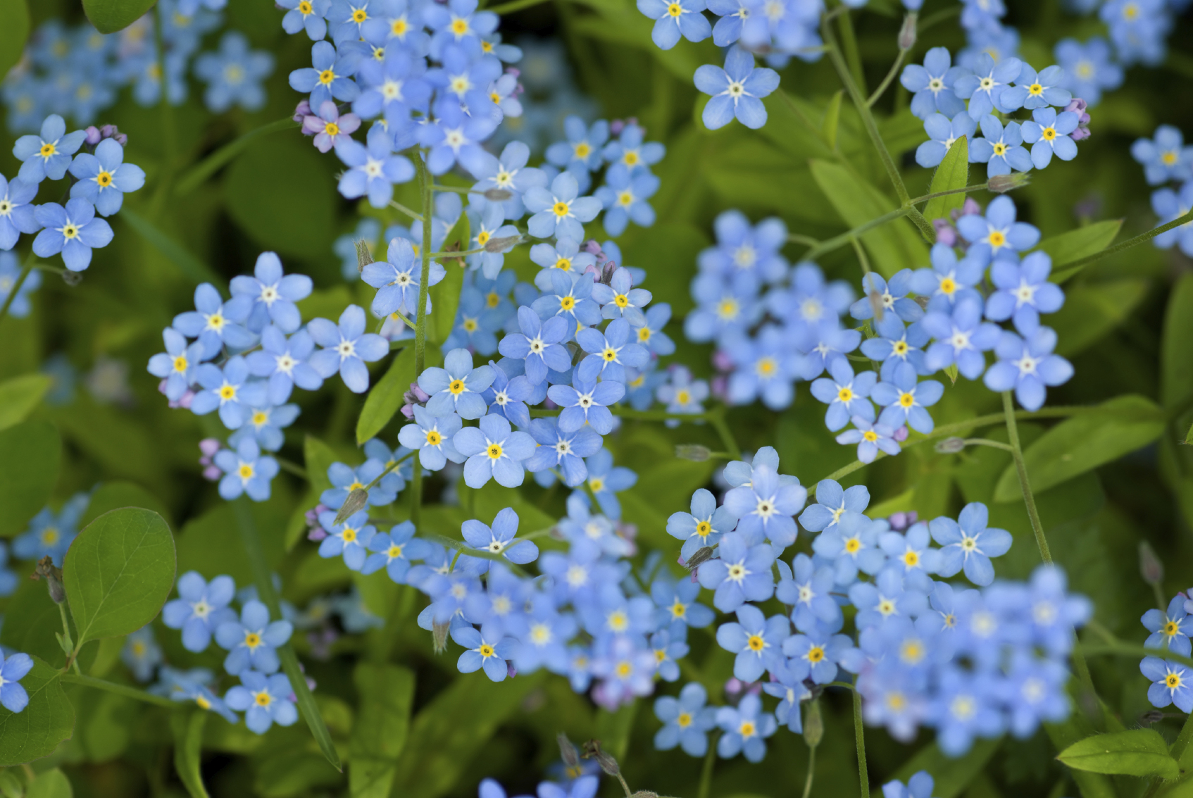 Foraging for edible flowers forget-me-nots