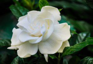 Gardenia cure insomnia