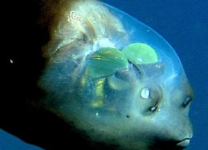 green living barreleye