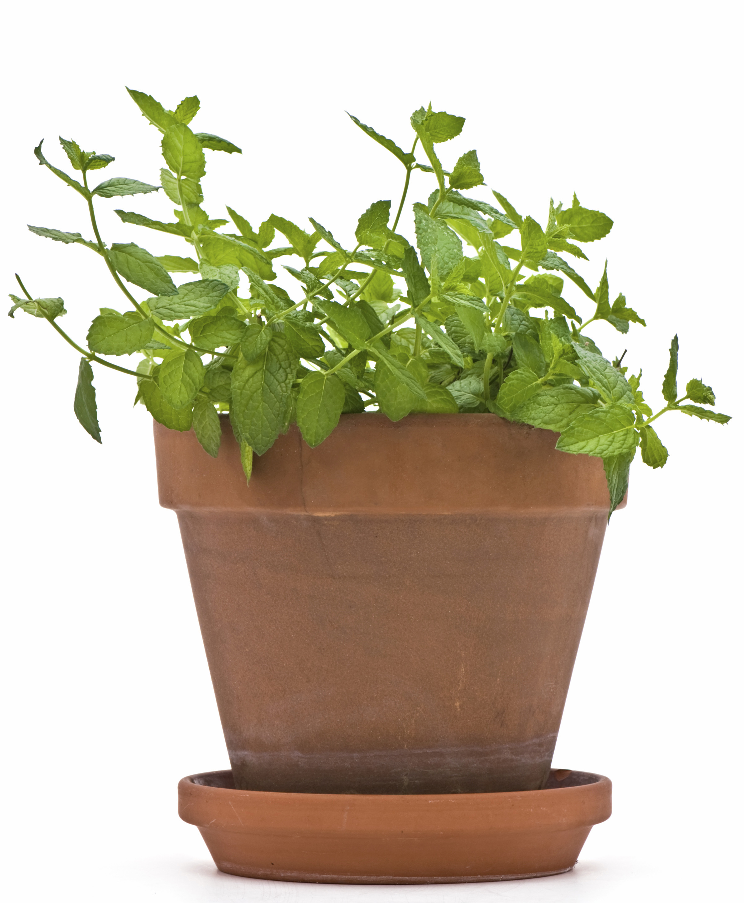 Mint Plant in a Flower Pot