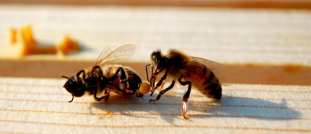 Green living: Honey Bee Deaths