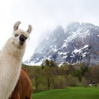 Alpaca ruining good shoot of cloudy mountains