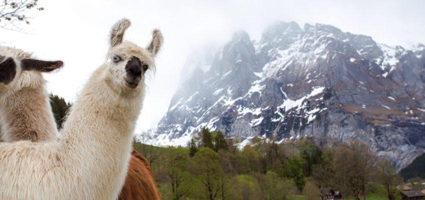 Alpaca ruining good shoot of cloudy mountains