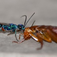 Jewel Wasp Zombie Cockroach