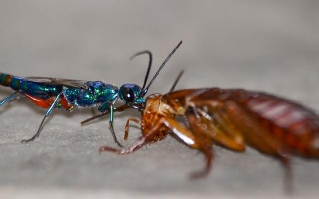 Jewel Wasp Zombie Cockroach