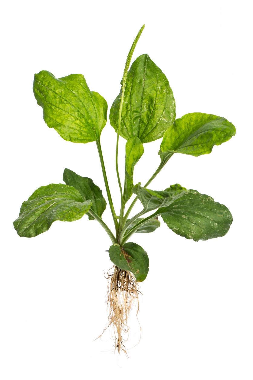 Poison ivy salve