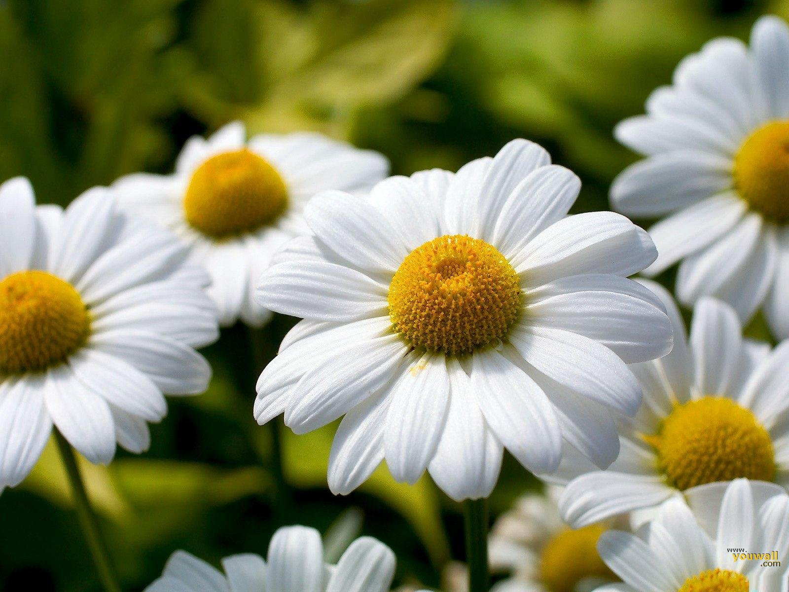 The Most Beautiful Daisy Flowers