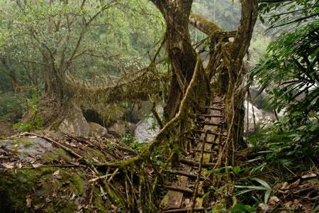 Cherrapunji S Root Bridges