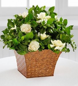 Gardenia office plant