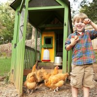 grow chickens