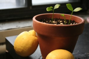 green home growing lemon trees