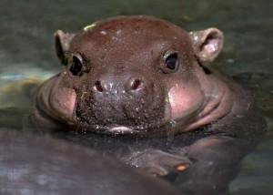 Green living: Miniature Hippo