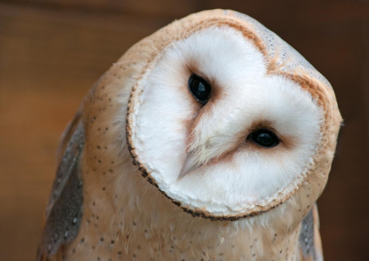 barn owl extinction