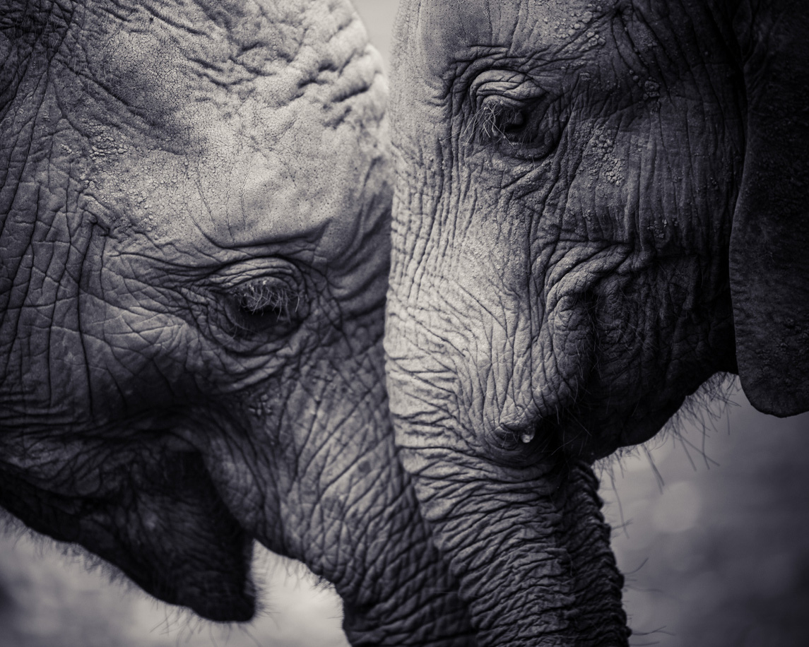 elephant extinction