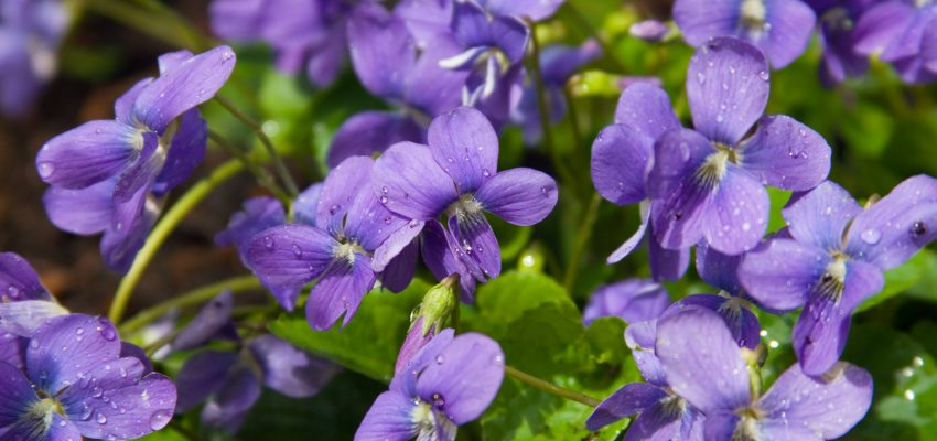 cooking with violets
